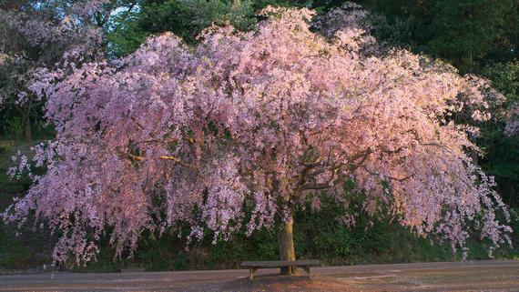 Double Pink Weeping Cherry Blossom Tree Bright Pink Blossoms Cascade Down Like A Waterfall 2 Year Weeping Cherry Tree Garden Types Plants