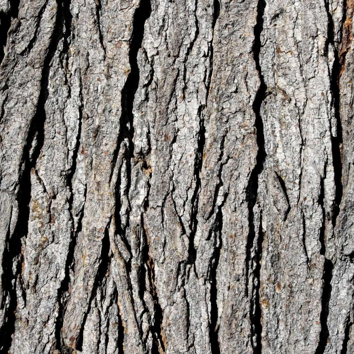 Tree Bark Grey Tree Bark With Moss Between The Bark Oak Tree