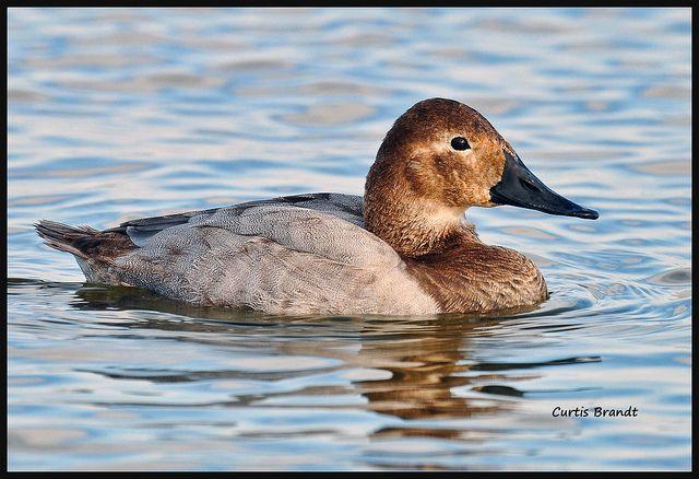Canvasback Hen Bird Pictures Hen Photo