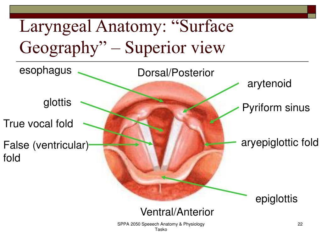 surface anatomy ppt | Anatomy | Pinterest | Anatomy