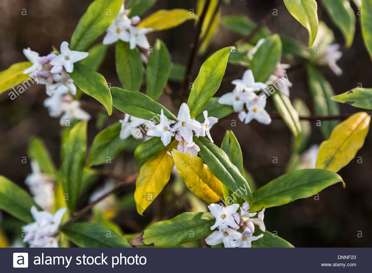 White Flowers Of Daphne Bholua Nepalese Paper Plant A Stock