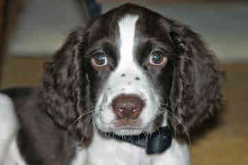 Springer Spaniel Rescue California Springer Spaniel Puppies Springer Spaniel Daisy Dog