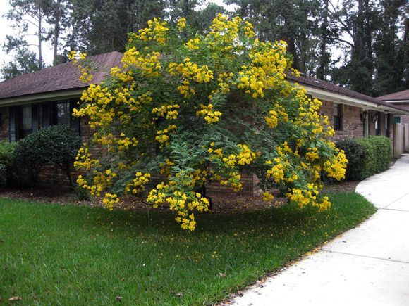 The yellow flowering tree is a Cassia tree Garden Pinterest