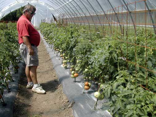 Greenhouse Vegetable Plants