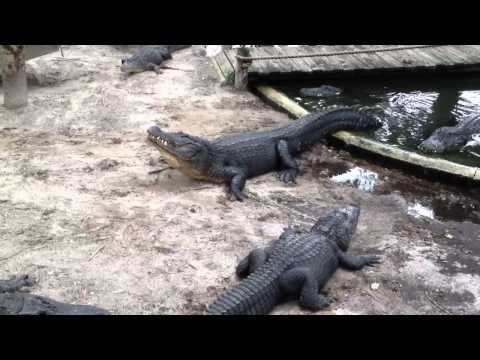 Alligator Sounds Bellow Mating Call Youtube Florida The