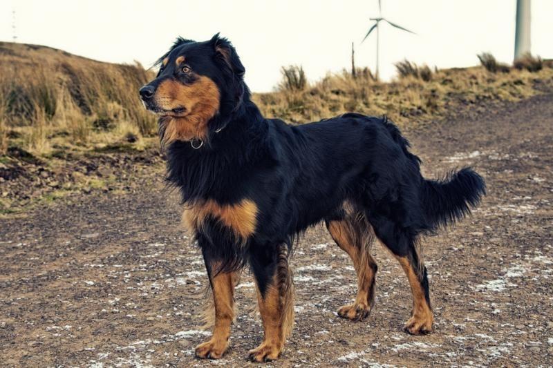English Shepherd Dog Photo English Shepherd Puppies English Shepherd Dog Photos Aussie Dogs