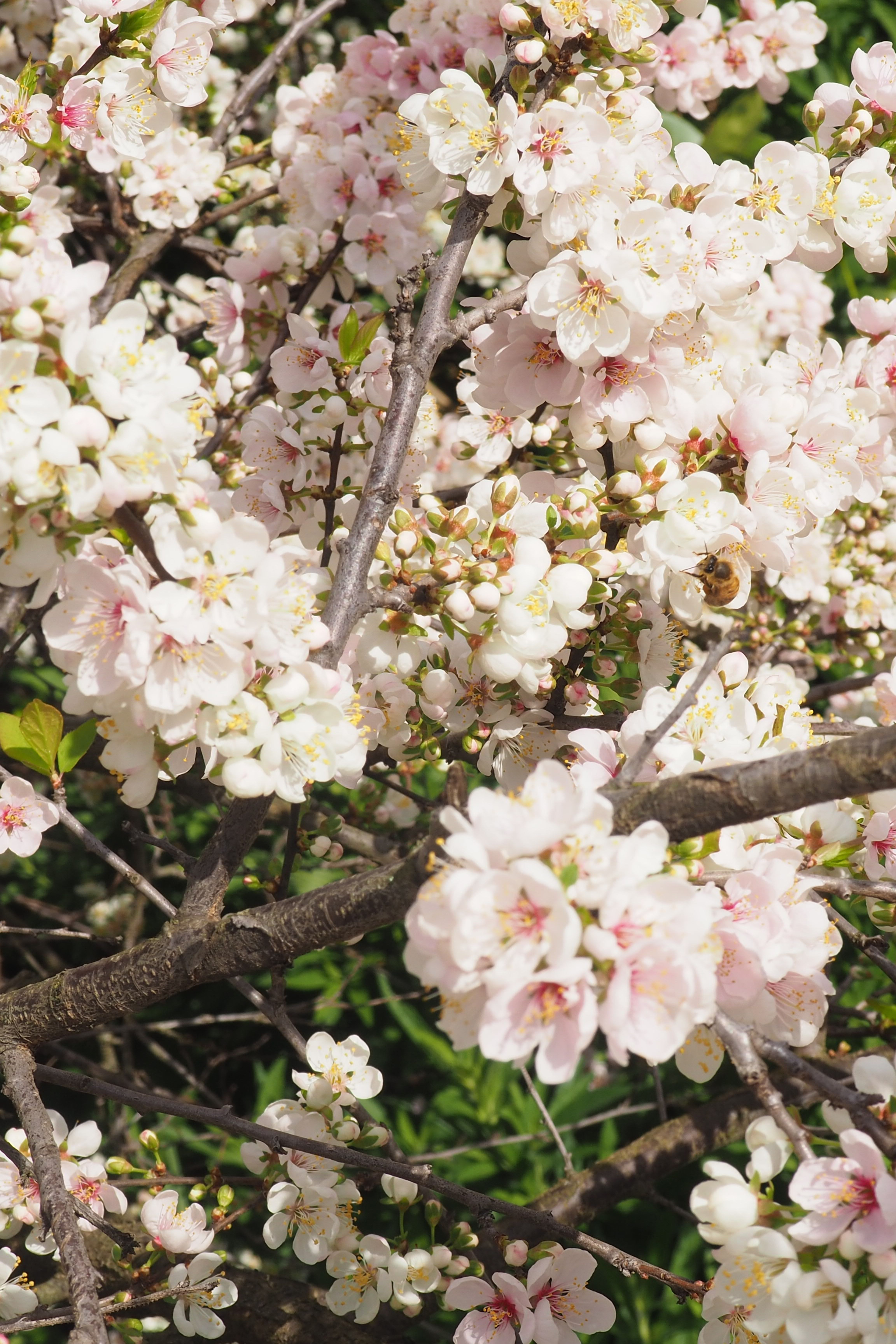 Spring Blossom Flower Tree In Melbourne Australia Blossom Flower Flowering Trees Spring Blossom