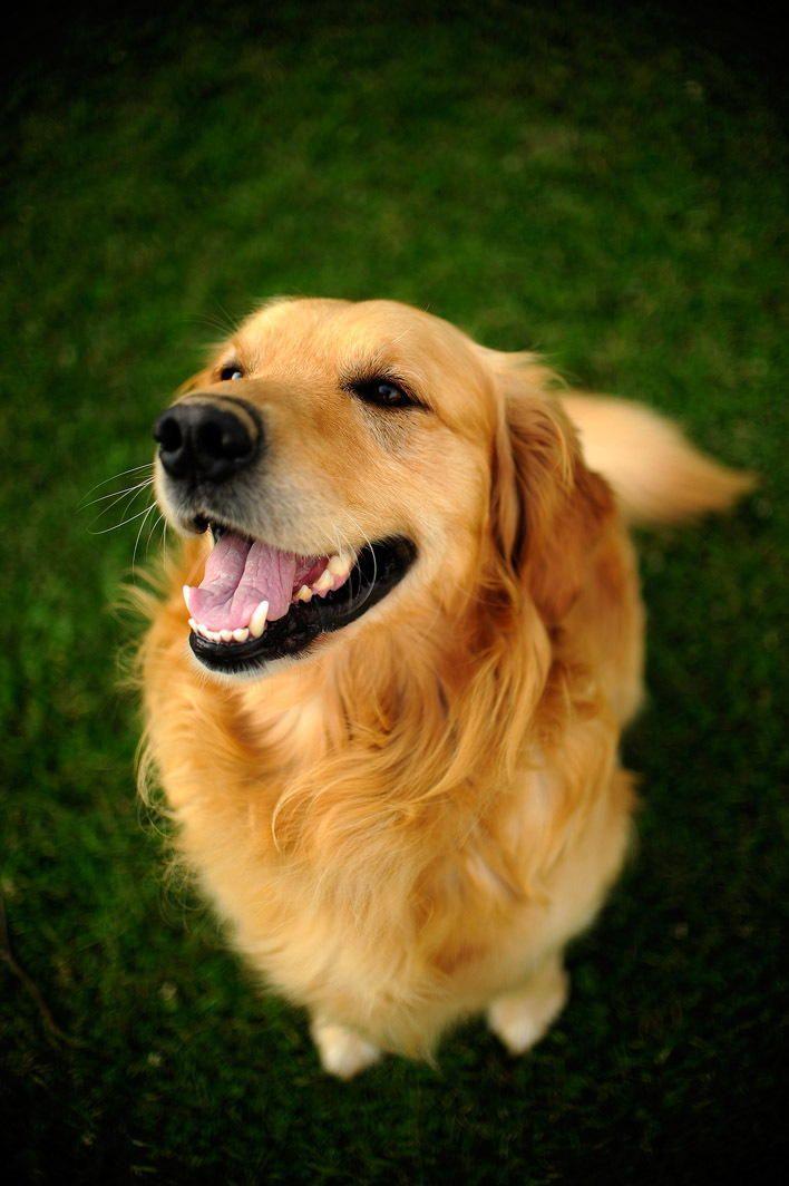 Golden Smile By Michal Harcek On 500px Smiling Dogs Golden