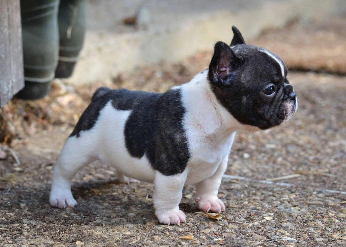 French Bulldog Puppy Franse Buldog Honden En Mooie Honden