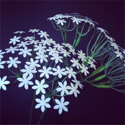 Paper replica of Queen Anne's Lace by Paper Portrayals. The flower cluster of a wild carrot and a beneficial weed, this amazing paper replica gives Queen Anne a run for her lace. #paperflowers