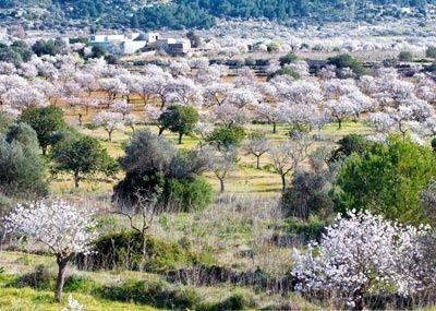 Ibiza almond trees