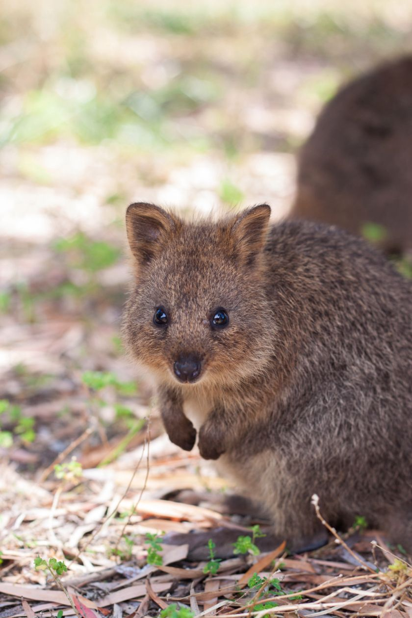Been Awhile Since We Had Some Quokkas Here.. | Animals ...