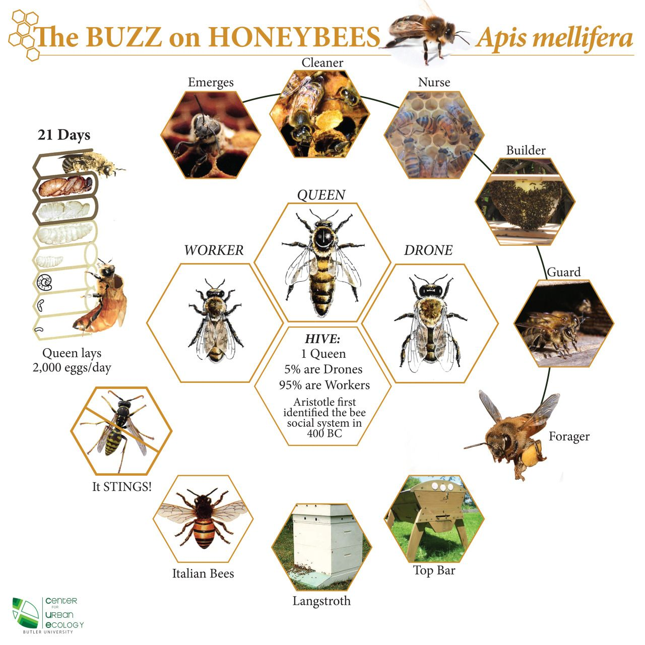 """Honey bee chart. ""It STINGS"" shows a yellow jacket, not a honey bee, to help you know the difference."""
