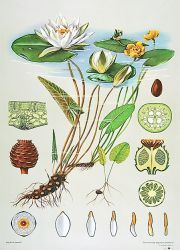 water lily plant diagram | water lily nymphaea alba picture of leaves  flowers and seeds