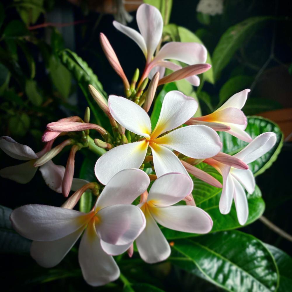 Ep 42 Plumeria Obtusa Plant Profile Plant Daddy Podcast In 2020 Plumeria Plants Frangipani