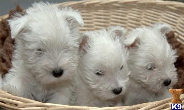 Sweet Westies Puppies Westies