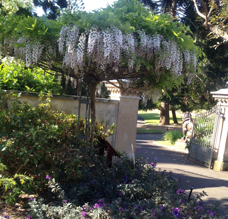 Wisteria Floribunda trained to a standard behind the Lions Gate in