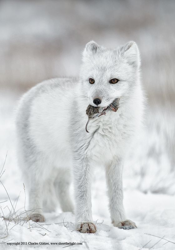 Arctic Fox And His Friend The Mouse Foxes