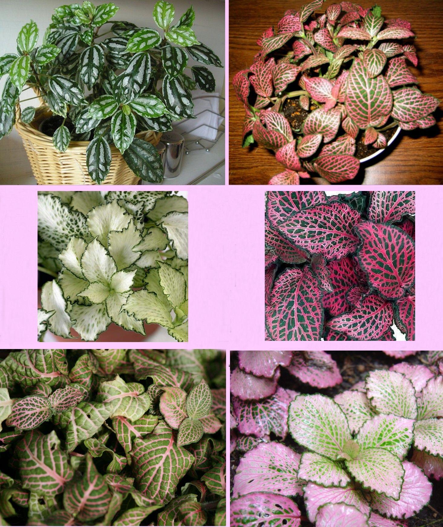 Fittonia Verschaffeltii  Mosaic Plant