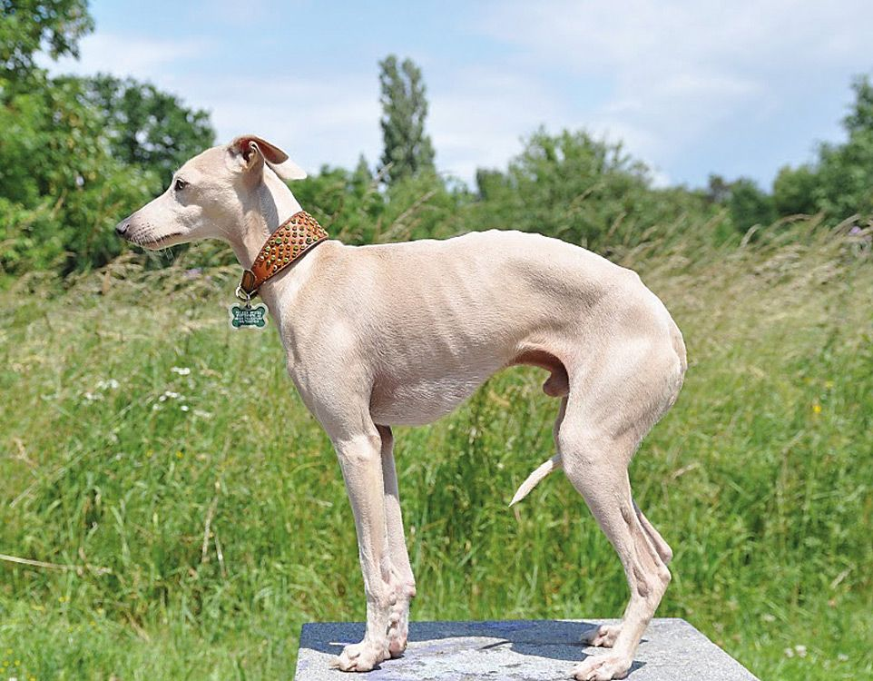 greyhound dog - Google Search