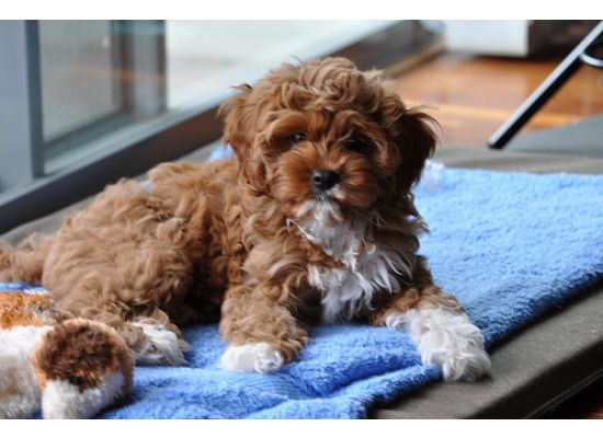 Cavoodle Like Cookie Cavoodle Dog Puppies Poodle Mix