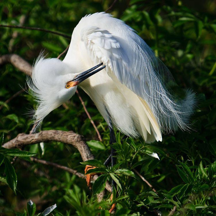 preening egrets - Google Search