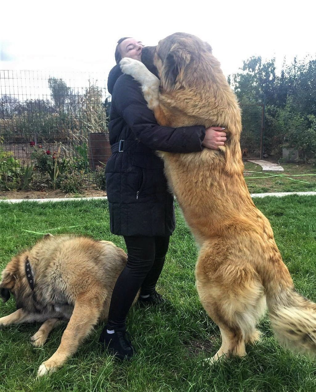 Caucasian Mountain Shepherd For Sale >> How Much Would Caucasian Mountain Dog Cost Puppy Price