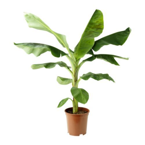 musa banana plante en pot ikea ikea ikea bananier bananier interieur. Black Bedroom Furniture Sets. Home Design Ideas