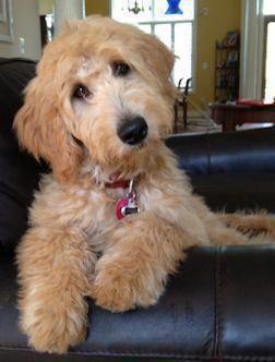 Things we respect about the Athletic Poodle Dog #poodleloversinsta #whitepoodle #PoodlePup