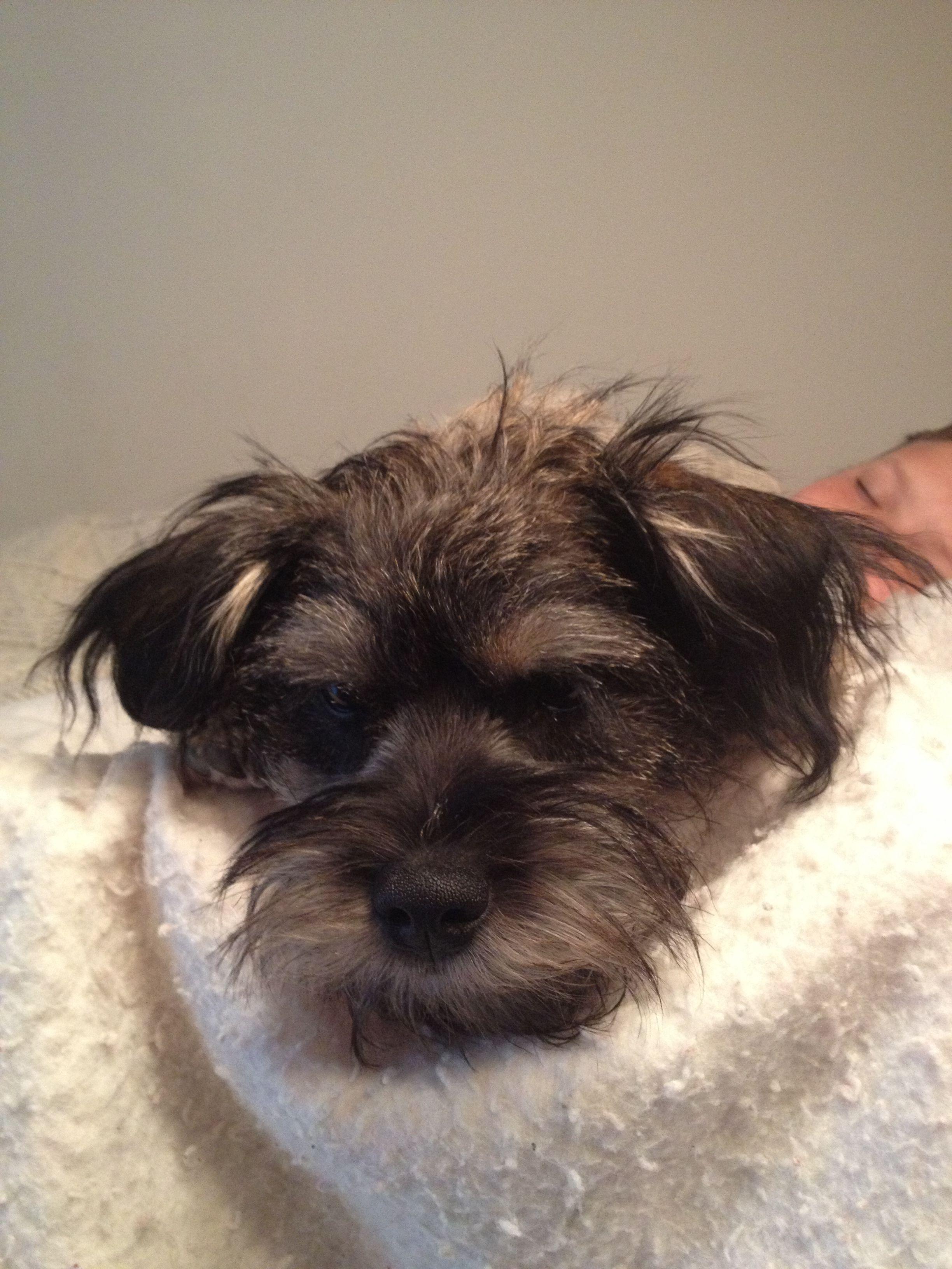 Schneagle Beagle Mix Puppies Schnauzer Mix