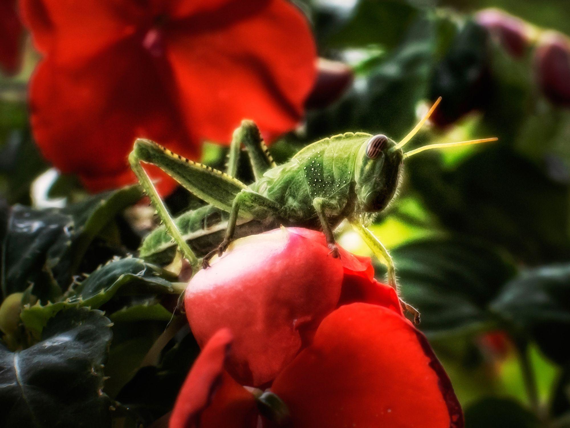 cricket  Macro photo by francescogaudino http://rarme.com/?F9gZi