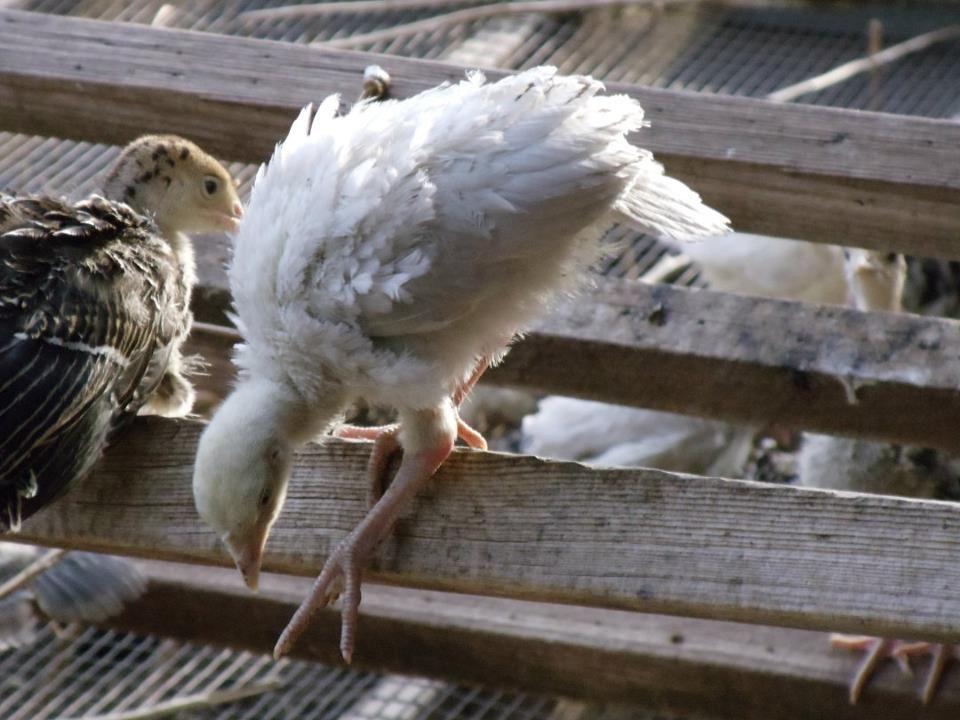 Good shepherd poultry ranch turkey poults pet turkey