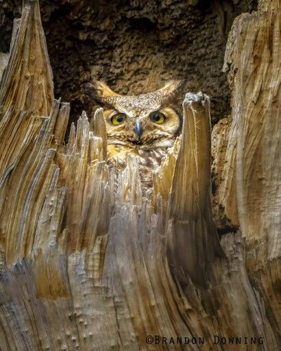 Great Horned Owl, Colorado. Photo by Brandon Downing