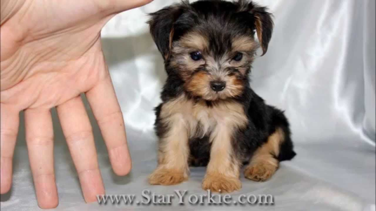 Teacup Puppies For Sale In Los Angeles By Staryorkiecom Youtube