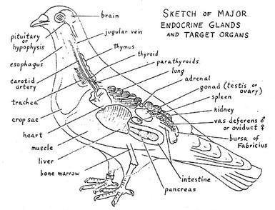 dove anatomy diagram google search doves pinterest diagram rh pinterest com Pelican Skeleton Diagram Perch Skeleton Diagram