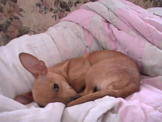 Deer Head Chihuahua Found On Kitchener On Canadianlisted Com