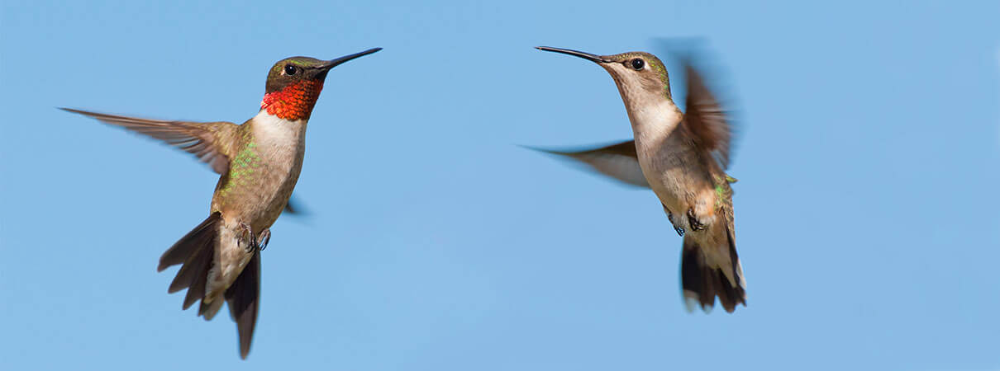 Do Hummingbirds Migrate? American Bird Conservancy