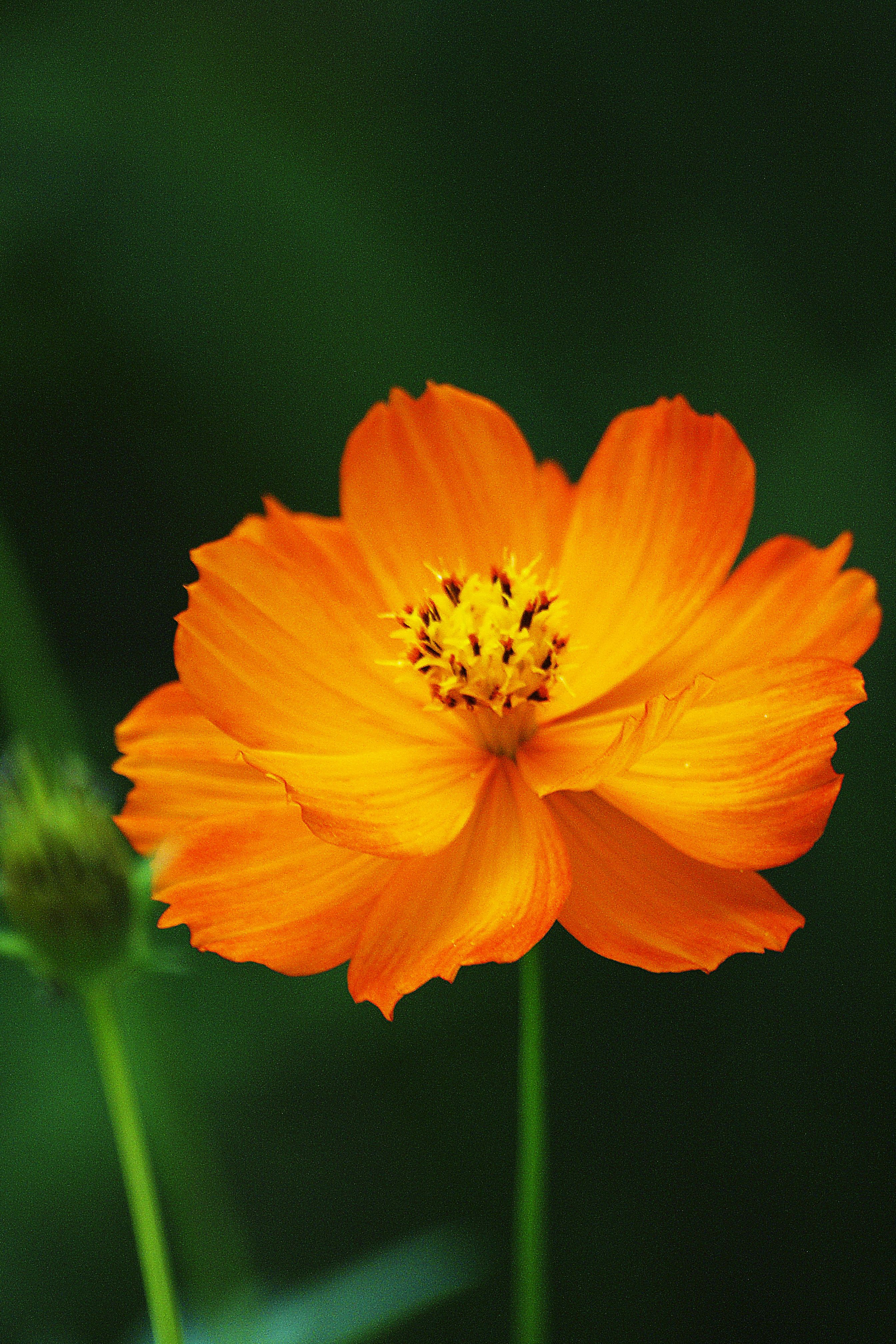 Orange Cosmos J S Grows 2 Tall The Shortest Of Her Cosmos Pansies Flowers Cosmos Flowers Flower Background Iphone