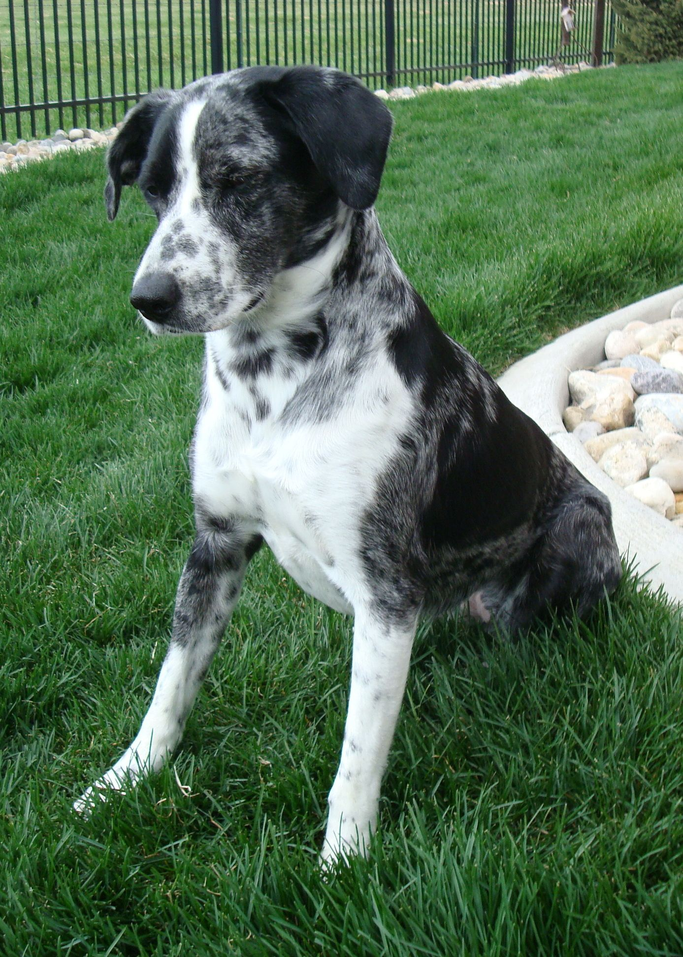 Border Collie Heeler Mix Or Pointer Heeler Mix Heeler Border