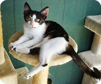 Lathrop Ca Domestic Mediumhair Meet Tiki A Kitten For Adoption
