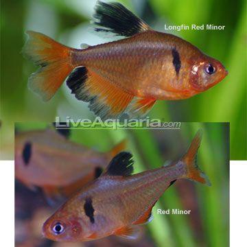 Red Minor Serpae Tetra Aquarium Fish Beautiful Fish Fish Tank