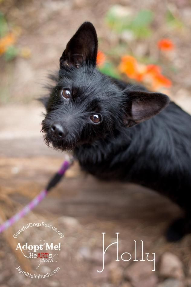 I found Holly on | Scottish terrier, Chihuahua mix and Terrier