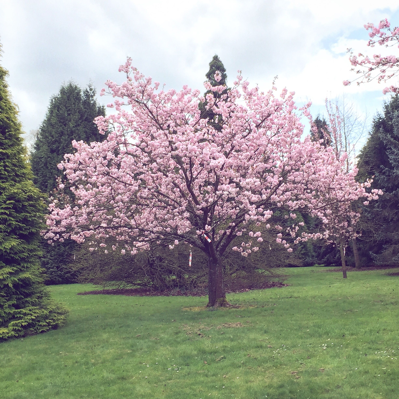 Beautiful Cherry Blossom At Sir Harold Hillier Gardens Blossom House White House Garden Japanese Cherry Blossom