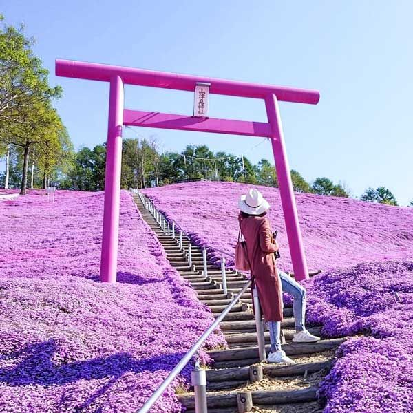 Purple Torii Gate - Most Instagrammable Places in Hokkaido, Japan   Takinoue, Takinoue Park, Shibazakura, Shibazakura Festival, Sapporo, Hokkaido, Flower FestivalPurple Shrine, Hokkaido, Japan – The One Hit Wander
