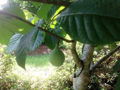 Pawpaw Native Fruit Tree Louisiana
