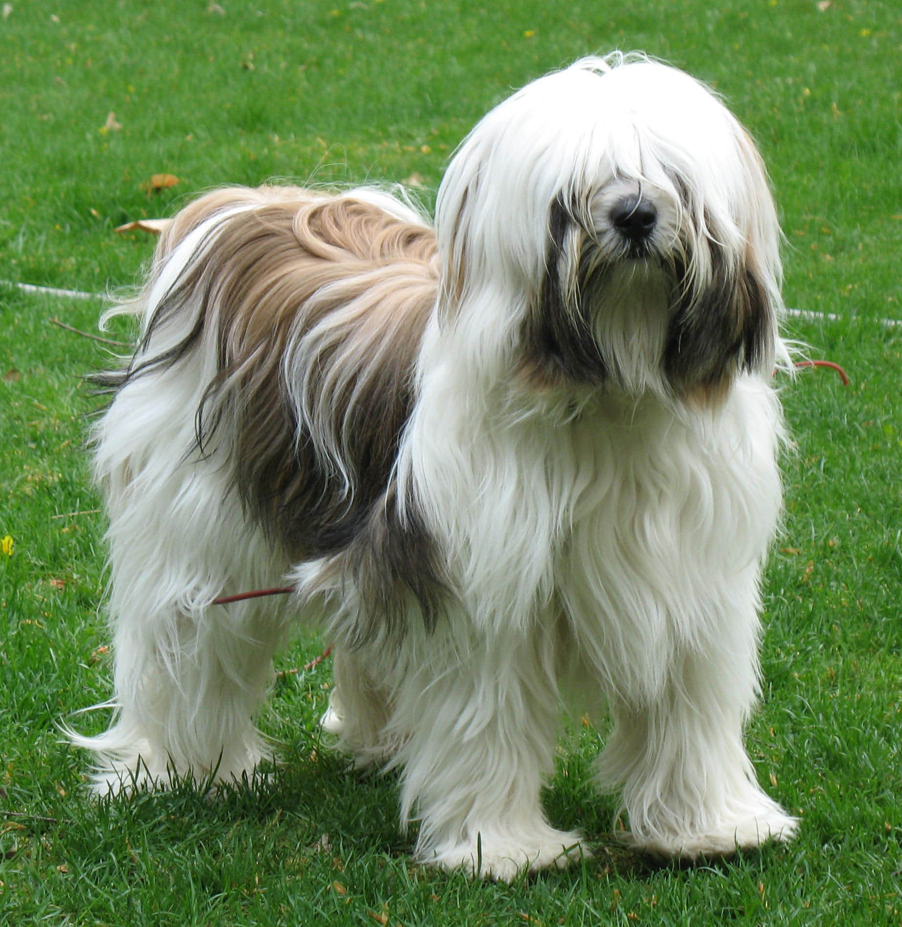 Lucy A White Brindle Tt At 14 Months Tibetan Terrier Unusual Dog Breeds Animal Spirit Guides