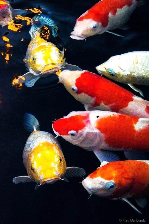 Koi fish nature pinterest fische teich und teichfische for Japanischer kampffisch