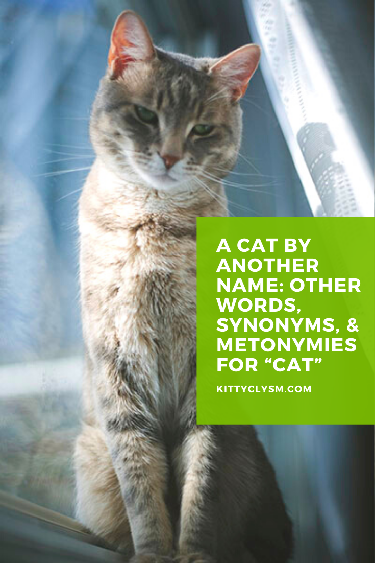 A Cat By Another Name Other Words Synonyms Metonymies For Cat In 2020 Cat Facts All Cat Breeds Most Popular Cat Breeds