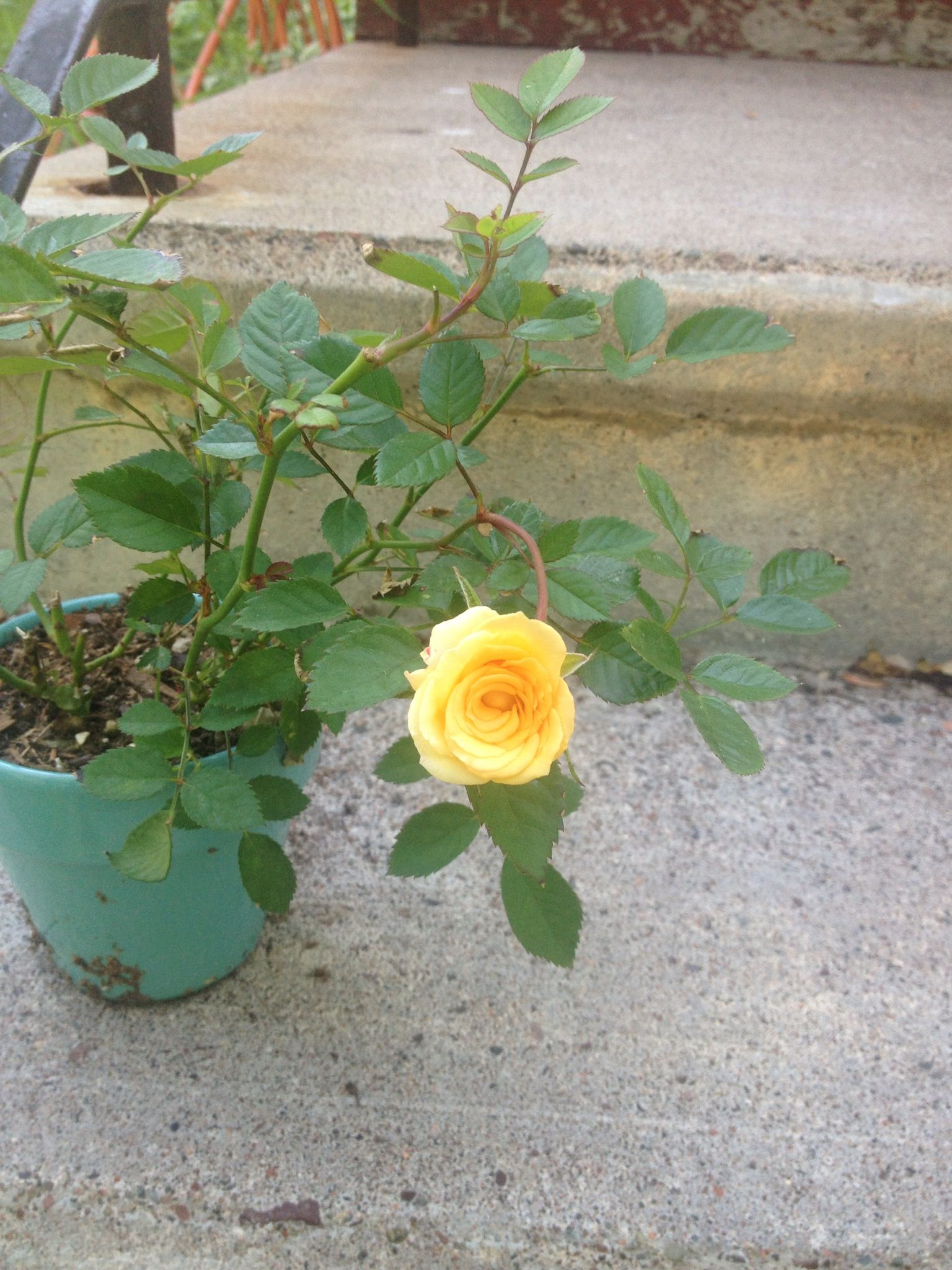 Mini rose from Home Depot $2 99 My Gardening Pinterest