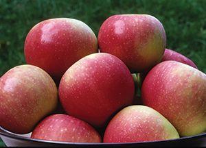 Zestar!® Apple Malus 'Zestar!' Zone 4